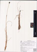 Eriophorum brachyantherum Trautv. & C.A.Mey.