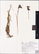 Eriophorum polystachion L.
