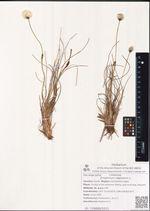 Eriophorum vaginatum L.