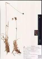Scirpus maximowiczii C.B.Clarke