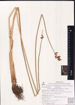 Scirpus tabernaemontani C.C. Gmel.