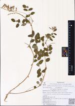 Astragalus frigidus (L.) A.Gray