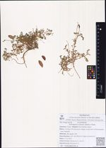 Astragalus polaris (Seem.) Hook.