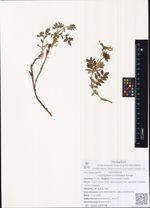 Astragalus umbellatus Bunge