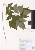 Desmodium mandshuricum (Maxim.) Schindl.