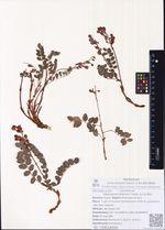 Hedysarum branthii Trautv. & C.A.Mey.