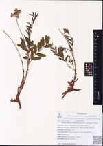 Hedysarum hedysaroides (L.) Schinz & Thell.