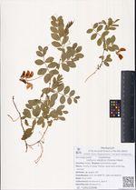 Lathyrus aleuticus (Greene) Pobed.