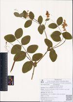 Lathyrus davidii Hance
