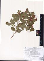 Lespedeza bicolor Turcz.