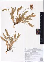 Oxytropis exserta Jurtzev