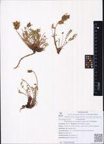 Oxytropis evenorum Jurtzev & A.P.Khokhr.
