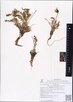 Oxytropis middendorffii Trautv.