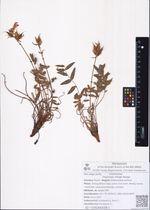 Oxytropis tilingii Bunge