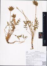 Oxytropis vassiljevii Jurtz.