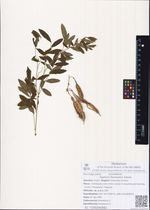 Sophora flavescens Soland.