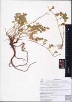 Trifolium gordejevii (Kom.) Z.Wei