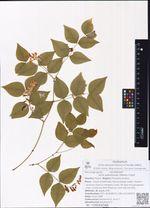 Vicia subrotunda (Maxim.) Czefr.