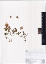 Corydalis ambigua Cham. & Schltdl.