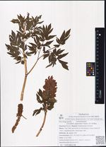 Corydalis gigantea Trautv. & C.A.Mey.