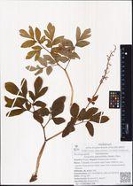 Corydalis paeoniifolia (Steph.) Pers.