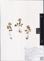 Corydalis repens Mandl & Muhldorf