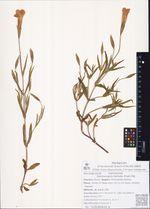 Gentianopsis barbata (Froel.) Ma