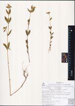 Halenia corniculata (L.) Cornaz