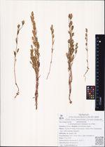 Lomatogonium rotatum (L.) Fries