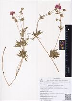 Geranium soboliferum Kom.