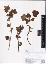 Ribes mandshuricum (Maxim.) Kom.