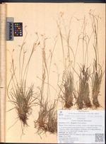 Carex krausei Boeckeler