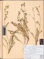 Polemonium pulcherrimum Hook.