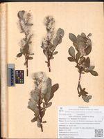Salix sitchensis Sanson ex Bong.