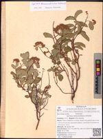 Spiraea betulifolia Pall.