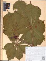 Aesculus hippocastanium L.