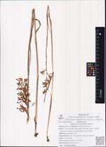 Habenaria linerifolia Maxim.
