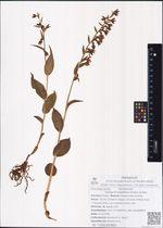 Epipactis papillosa Franch. & Sav.