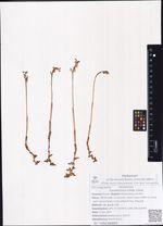 Corallorzhiza trifida Chatel.