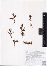 Coeloglossum viride  (L.) C.Hartm.