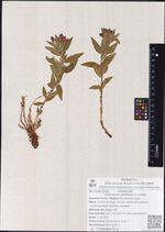 Chamerion latifolium (L.) Holub