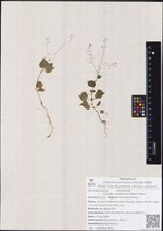 Circaea caulescens (Kom.) Hara