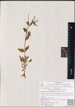 Epilobium hornemannii Rchb.