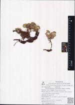Dracocephalum palmatum Steph. ex Willd.