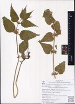 Lamium barbatum Siebold et Zucc.