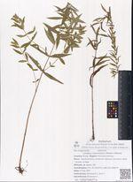 Lycopus maackianus (Maxim.) Makino