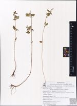 Mosla dianthera (Roxb.) Maxim.