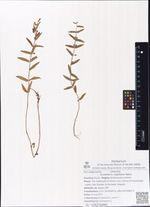 Scutellaria regeliana Nakai