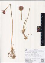 Allium spirale Willd.