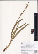 Zigadenus sibiricus (L.) A. Gray
